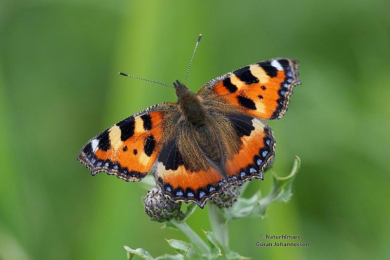spela fjärilar